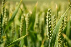 closeup of stalk of wheat in a field - stock photo
