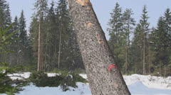 SLOW MOTION: Spruce tree falling down Stock Footage