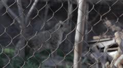 Leopard in captivity rack focus Stock Footage