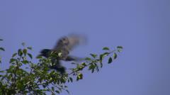 Crow landing Stock Footage