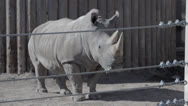 Stock Video Footage of a rhino at a zoo in captivity