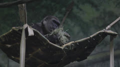 A gorilla at a zoo Stock Footage