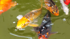 Koi Fish in the Pond Stock Footage
