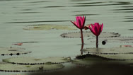Stock Video Footage of Lotus Flower