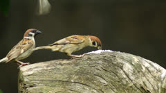 Maya Bird Tree Sparrow pecking grains on tree branch Stock Footage