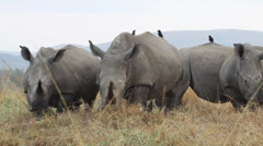 A herd of white rhino eating in the veld . - stock footage
