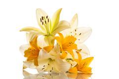 Yellow lily Stock Photos