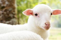 Portrait of a baby sheep in the farm - stock photo