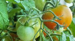 unripe tomatoes - stock photo