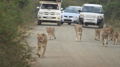 Lions walking on road Stock Footage