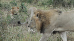 Male lion walks pass two female lions Stock Footage