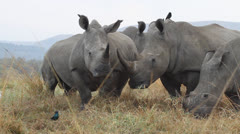 A herd of white rhino walking around in the veld. Stock Footage
