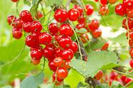Stock Photo of red currants ready for harvest