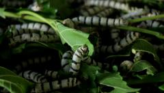 Silkworm eating mulberry leaves Stock Footage