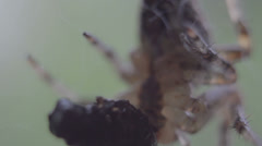Macro spider feeding - stock footage