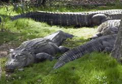 alligators rest in grass - stock photo