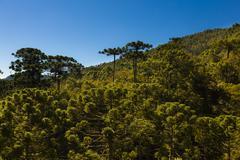 Araucaria tree forest Stock Photos