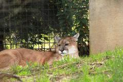 mountain lion resting in zoo - stock photo
