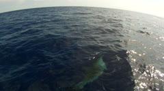 Porpoise Stock Footage