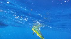 Dolphin Mahi Mahi Fishing 3 Stock Footage