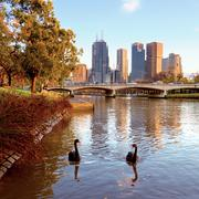 swans on the yarra river - stock photo
