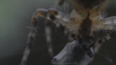 Macro spider feeding time - stock footage