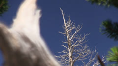 Dead tree, snarled roots Stock Footage