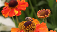 Stock Video Footage of bee, bees, honey bee, honeybee, flowers