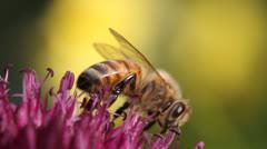 bee, bees, honey bee, honeybee, flowers - stock footage