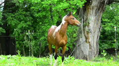 Pinto Arabian galloping on meadow Stock Footage