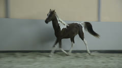 Pinto Arabian gelding trotting in hall Stock Footage