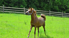 Asil Arabian mare trotting and galloping on pasture Stock Footage