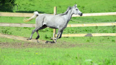 Asil Arabian mare galloping Stock Footage