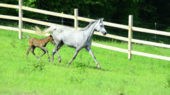 Asil Arabian mare trotting and galloping with foal Stock Footage