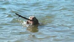 Dog swims out for stick Stock Footage
