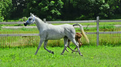Asil Arabian mare and foals galloping and trotting Stock Footage