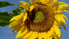 Focus change sunflower head move wind blue sky Stock Footage