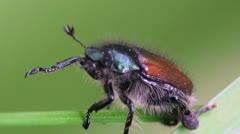 Aphodius contaminatus beetle macro Stock Footage