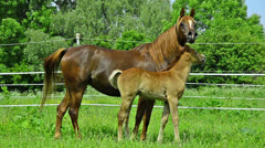 Asil Arabian mare and foal Stock Footage