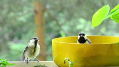 young great tit begging on my balcony Stock Footage