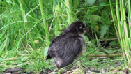 Stock Video Footage of Black chicken walking on green grass field