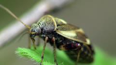 Dermestidae beetles macro Stock Footage