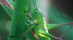 Grasshopper beetle macro Stock Footage