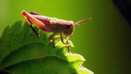 Stock Video Footage of grasshopper beetle macro