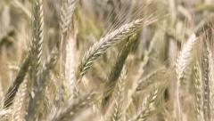 Wheat Telephoto - stock footage