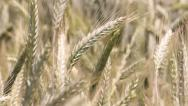 Stock Video Footage of Wheat Telephoto