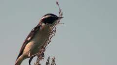 Eurasian Skylark lark Stock Footage