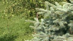 Silver pine tree Stock Footage