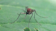 Male Mosquito Stock Footage