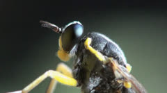 Temnostomina fly macro Stock Footage